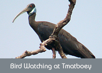 Bird Watching at Tmatboey